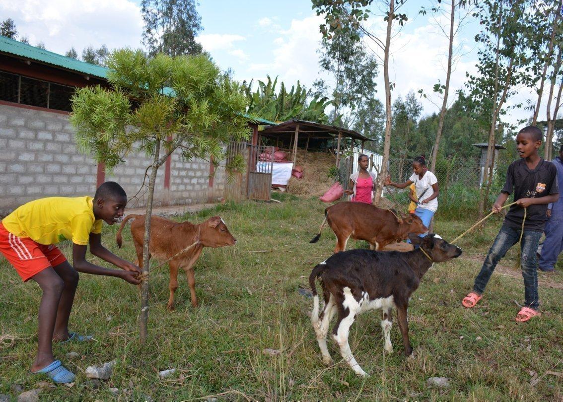 Ein paar Jungen kümmern sich um ihren Garten und um Rinder.
