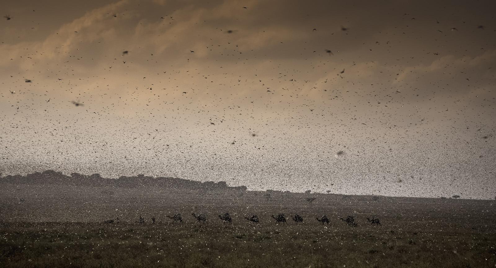 Färben den Himmel schwarz: Schwärme der Wüstenheuschrecke verdunkeln den Himmel über Äthiopien. (©FAO/Petterik Wiggers)