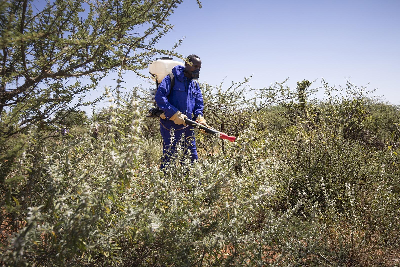 Kämpfen um ihre Lebensgrundlage: Regierungs-mitarbeiter und Kleinbauern bekämpfen die Heuschrecken mit allen Mitteln. (©FAO/Petterik Wiggers)